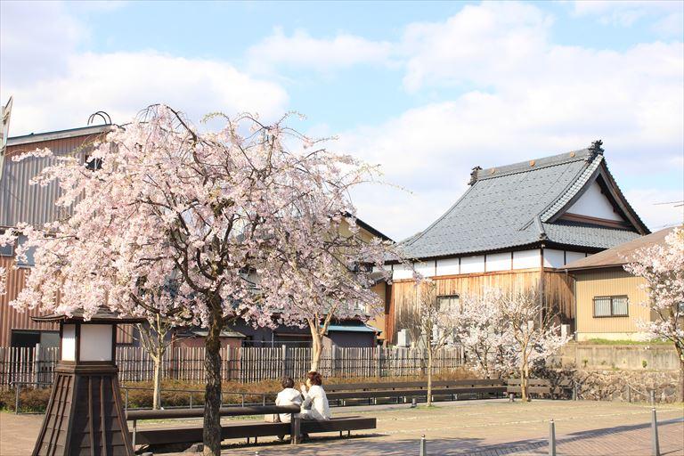 花月楼横桜